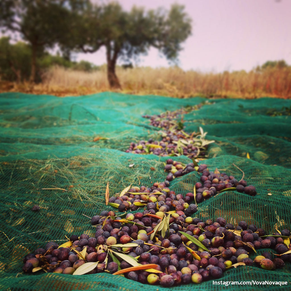 How to pick up olives